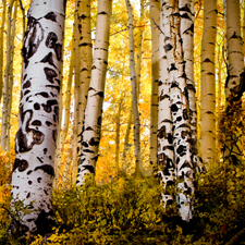 Aspens on Last Dollar Road, Colorado
